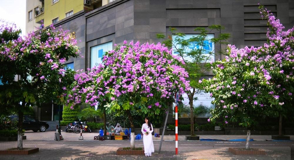 Địa chỉ mua cây Bằng Lăng đảm bảo chất lượng, giá cạnh tranh