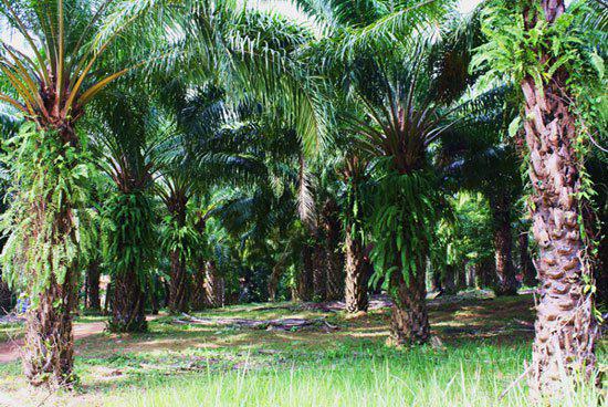 Cách trồng và chăm sóc cây Cọ Dầu