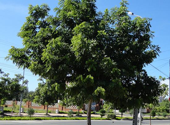 Đặc điểm và tác dụng cây Lát Hoa mang lại