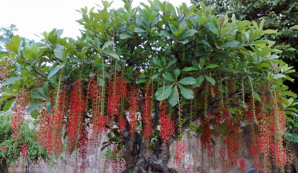 Cách trồng và chăm sóc cây Lộc Vừng