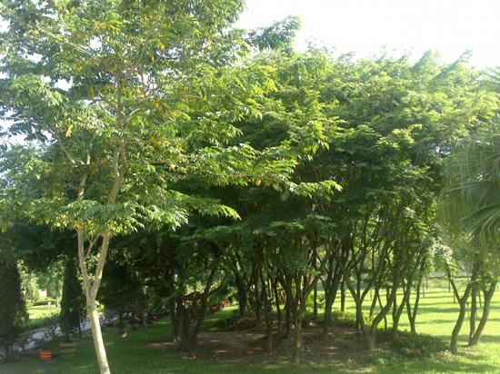 cây sưa đỏ